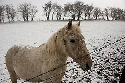 © Licensed to London News Pictures. 10/02/2020. Llanfihangel-nant-Melan, Powys, Wales, UK. A white horse stands in a wintry landscape near Llanfihangel-nant-Melan in Powys, during a heavy snow-fall this morning.  Photo credit: Graham M. Lawrence/LNP
