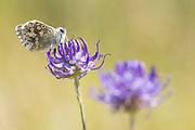 Chalkhill blue (Polyommatus coridon) butterfly nectaring on round-headed rampion. Sussex, UK.