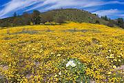 Evening Primrose (Oenothera californica), Goldfields (Lasthenia californica), Coastal Tidy Tips (Layia platyglossa), and California Dandelion (Malacothrix californica) along Shell Creek, San Luis Obispo County, California