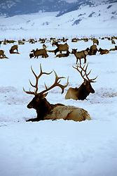 Wyoming: Jackson Hole, Elk at National Elk Refuge, wyjack101  .  Photo copyright Lee Foster, www.fostertravel.com, 510/549-2202, lee@fostertravel.com