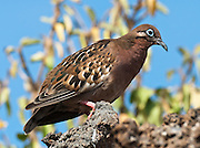 The Galápagos Dove (Zenaida galapagoensis, in the Columbidae family) is seen on Isla Genovesa (or Tower Island), Ecuador, South America.  It is endemic to the Galápagos Islands. Its natural habitats are subtropical or tropical dry forests and subtropical or tropical dry shrubland.