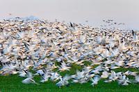 Large flock of Snow Geese (Chen caerulescens) taking flight en masse in the lower Skagit Valley Washington USA