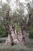 Old olive tree. Bacalhoa Vinhos, Azeitao, Portugal