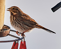 Song Sparrow (Melospiza melodia). Image taken with a Nikon N1V3 camera and 70-300 mm VR lens.