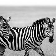 Zebras (Equus zebra), Ngorongoro Crater, Ngorongoro Conservation Area, Tanzania, East Africa