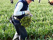 A local female farm worker carries bunches of daffodils in a field farmed by commercial bulb grower Walkers Bulbs At Taylors, Holbeach, Spalding, Lincolnshire
