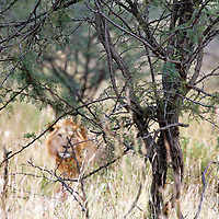 Africa, Kenya, Masai Mara. A hidden lion approaching from beyond the bush.