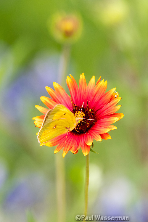 Yellow Sulfur Butterfly on an Indian Blanket Wildflower in Texas