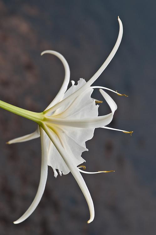 Spider Lily Dancer