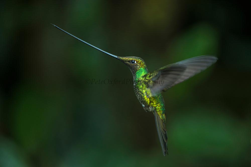 Sword-billed hummingbird (Ensifera ensifera)<br /> Yanacocha Nature Reserve<br /> on slopes of Pichincha Volcano<br /> Andes<br /> ECUADOR, South America<br /> Range: mostly above 2500 meters in Bolivia, Colombia, Ecuador, Peru and Venezuela.