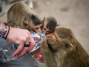 30 NOVEMBER 2014 - LOPBURI, LOPBURI, THAILAND:  A tourist gives water to a crowd of long tailed macaque monkeys at Phra Prang Sam Yot in Lopburi. Lopburi is the capital of Lopburi province and is about 180 kilometers from Bangkok. Lopburi is home to thousands of Long Tailed Macaque monkeys. A regular sized adult is 38 to 55cm long and its tail is typically 40 to 65cm. Male macaques weigh around 5 to 9 kilos, females weigh approximately 3 to 6 kg. The Monkey Buffet was started in the 1980s by a local business man who owned a hotel and wanted to attract visitors to the provincial town. The annual event draws thousands of tourists to the town.   PHOTO BY JACK KURTZ