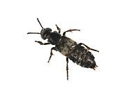 Hairy Rove Beetle - Creophilus maxillosus
