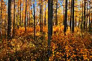 Aspen forest in autumn color<br /> Elk Island National Park<br /> Alberta<br /> Canada