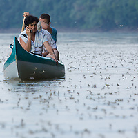 Woman talks on a phone in a boat watching the yearly few days long swarming of the long-tailed mayfly (Palingenia longicauda) on the river Tisza in Tiszainoka (some 135 km south-east from Budapest), Hungary on June 23, 2013. ATTILA VOLGYI<br /> The long-tailed mayfly larves live 3 years under water level in the river banks then swarm out for a one day period of their life to die after mating.