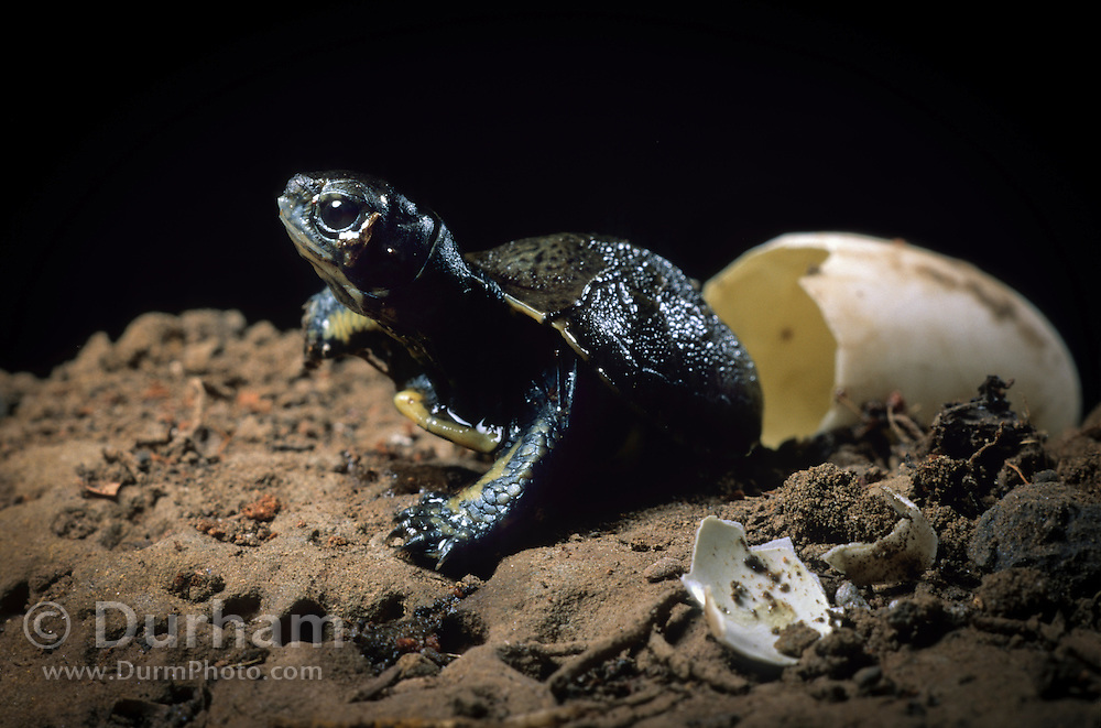 Western pond turtle (Clemmys marmorata) having just hatched out of its egg. Columbia River Gorge, Washington USA. Temporarily captive/controlled conditions. (6 0f 7)