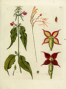 hand painted Botanical illustration of flower details leafs and plant from Collectaneorum Supplementum by Nicolai Josephi Jacquin Published 1796. Figure 7