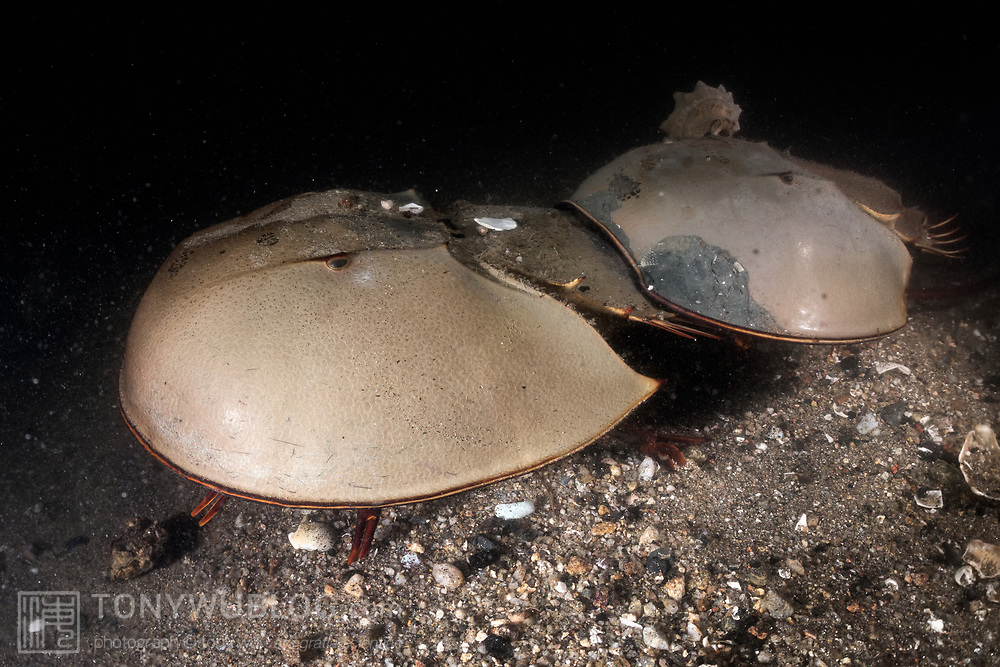 This is a pair of endangered tri-spine horseshoe crabs (Tachypleus tridentatus) moving across the ocean bottom, with the larger female in front and the male clasped onto the rear. The tips of some of the animals' legs are visible.<br /> <br /> The female is searching for a location to spawn. Once she finds a place that she likes, she burrows partially into the substrate and deposits a clutch of eggs, which the male fertilizes. Such spawning occurs repetitively. When searching in this manner, horseshoe crabs can travel at a relatively rapid pace. Otherwise, they tend to move slowly, as evidenced by the gastropod that has crawled on top of the male's head.<br /> <br /> Although these animals are called crabs, they are not members of the Subphylum Crustacea. They belong to a separate Subphylum—Chelicerata—which also comprises sea spiders, arachnids, and several extinct lineages such as sea scorpions. The earliest known fossils of horseshoe crabs date back 450 million years ago, qualifying these animals as living fossils, as they have remained largely unchanged.<br /> <br /> Tachypleus tridentatus is the largest of the four living species of these marine arthropods, all of which are endangered.<br /> <br /> Though habitat loss and overharvesting of these animals for food are primary contributors to the population decline of horseshoe crabs, the biomedical industry is also a major factor. Horseshoe crabs are bled for their amoebocytes (akin to white blood cells), which are used to derive an extract that reacts in the presence endotoxin lipopolysaccharide, which is found in the membranes of gram-negative bacteria. Estimates suggest that between three and 30% of the animals die as a result. There have also been suggestions that taking up to a third of each animal's blood adversely affects their ability to undertake vital functions, such as procreation, even if the animals survive.