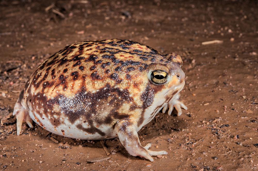 Bushveld rain frog (Breviceps aspersus adspersus)<br /> Marataba, A section of the Marakele National Park<br /> Limpopo Province<br /> SOUTH AFRICA<br /> HABITAT & RANGE: Sandy & sandy-loam soils of semi-arid savanna & grasslands