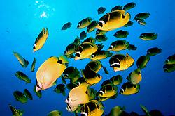 raccoon butterflyfish, Chaetodon lunula, and .milletseed butterflyfish (endemic), Chaetodon miliaris, .swarming in to feed on eggs of Hawaiian sergeant .major (endemic), Abudefduf abdominalis, Hawaii (Pacific).