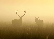 © Licensed to London News Pictures. 15/03/2012. Richmond, UK. A stag and deer in the golden fog. Foggy conditions at Richmond Park this morning, 15 march 2012. The weather is expected to be good across large parts of the UK for the day.  Photo credit : Stephen SImpson/LNP