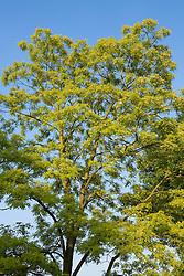 Robinia pseudoacacia 'Frisia' - False acacia against a blue sky