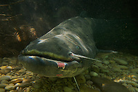 Wels - Silure glane - Wels catfish (Silurus glanis)<br /> Laichregion, Rio Ebro, Spanien<br /> Période de fraye, Ebre, Espagne<br /> Spawning period, Rio Ebro, Spain<br /> CANON EOS 5D EF24/1.4<br /> 18-05-2007