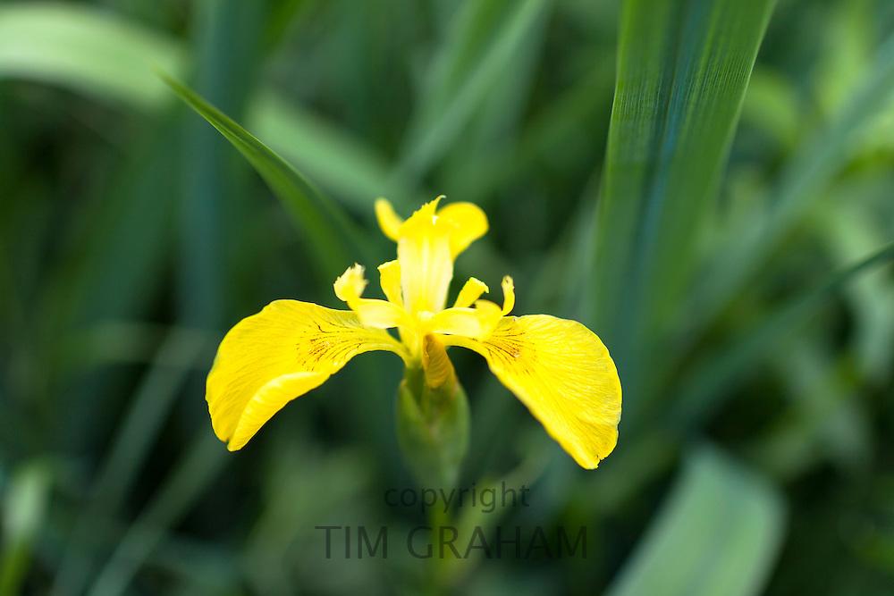 Yellow Flag Iris, Iris pseudacorus, Iridaceae marginal pond plant in bloom in Oxfordshire, UK