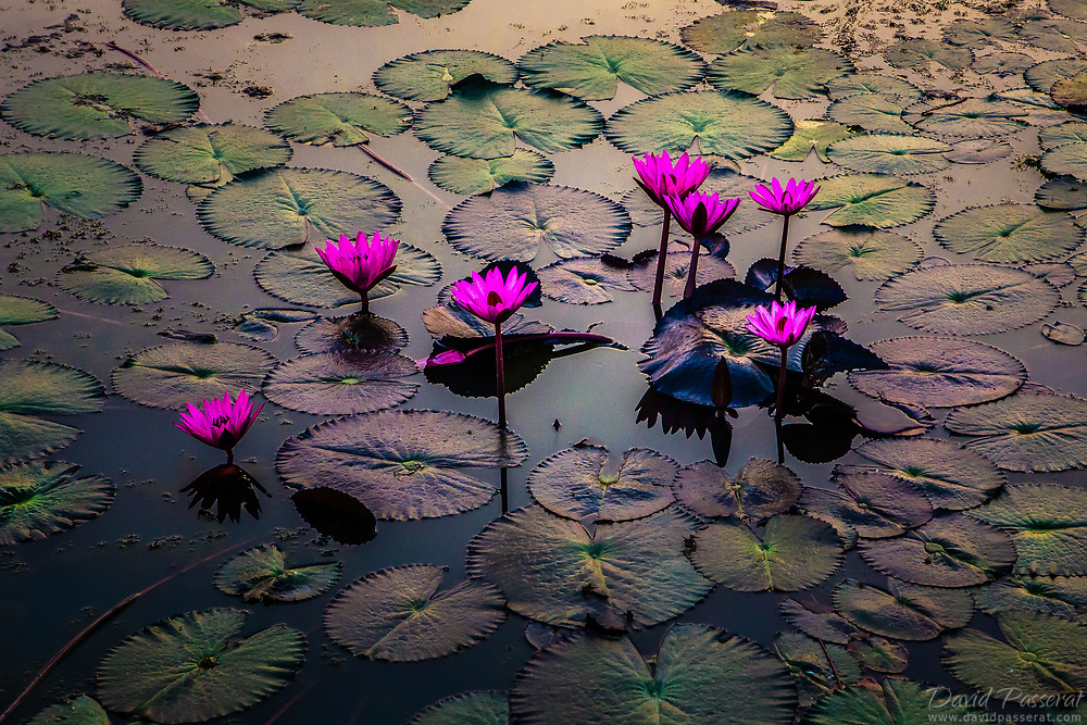 Pink waterlilies on a pond.