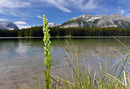 Northern Green Orchid - Platanthera hyperborea growing beside Marl Lake, Peter Lougheed Provincial Park, Kananaskis