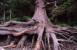 Sitka Spruce on Eroded Beachfront near Sand Point, Olympic National Park, Washington, US