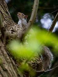 A grey squirrel in Falkirk's Callender Park.