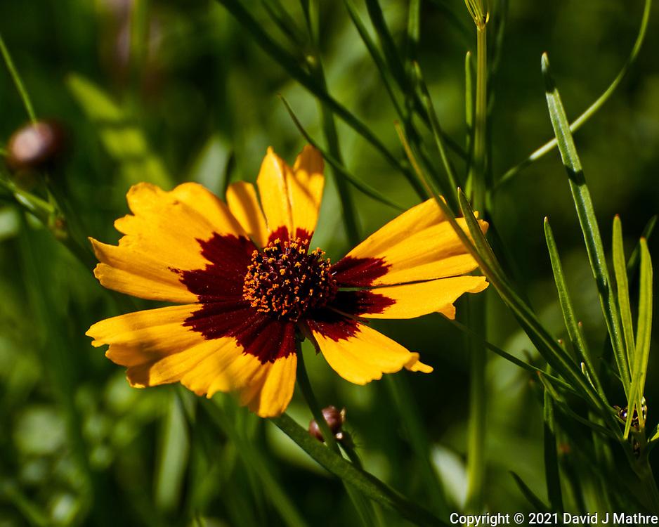 Plains Coreopsis. Image taken with a Nikon 1 V3  camera and 70-300 mm VR lens.