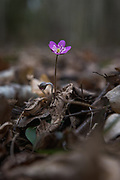 One of the first blooming hepaticas (Hepatica nobilis) with a slight aberration of it's typical blue petals growing in between fallen leaves on forest floor, near Amula river, Kurzeme, Latvia Ⓒ Davis Ulands   davisulands.com