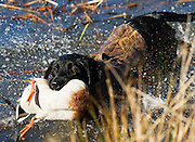Black lab retrieving a downed duck from a lake.