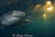 tiger sharks, Galeocerdo cuvier, at dusk, Aliwal Shoals, east coast of South Africa (near Durban )