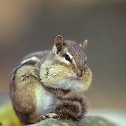 Eastern Chipmunk, (Tamias striatus) Cheeks plump full of acorns. Fall.