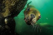 Southern sea lions (Otaria flavescens) Comau Fjord, Patagonia, Chile | Mähnenrobbe (Otaria flavescens), auch Südamerikanischer Seelöwe