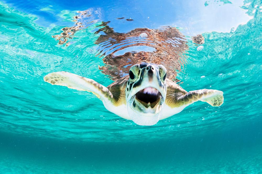 A green sea turtle (Chelonia mydas) with open mouth off Eleuthera, Bahamas.