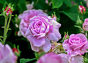 Group of pink roses at Botanical Gardens Rose Show in Bronx, New York.