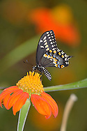 Butterfly, Black Swallowtail On Red Flower, Papilio polyxenes Fabricius