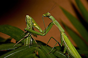 Sexual Cannibalism! Female Paying mantis Devours her partner<br /> <br /> imagine every time you made love to your partner you were dicing with imminent death. It might make you wary of having sex ever again (if you survived, that is!) yet male praying mantises can never be sure they will survive the sex act owing to their partners<br /> natural predatory instinct. Sexual cannibalism is a natural phenomenon whereby one organism (generally the female) eats the other (typically the Male) before, during or right after sex.<br /> this amazing sequence of photographers shows a female praying mantis eating her lover <br /> <br /> Photo shows: As she holds her decapitated and dismembered lover, its time for the female praying mantis to finish her after sex-sex snack, Although some might consider sexual cannibalism an extreme way to deal with cheating husbands, naturally it's those male mantises that actively avoid being cannibalized that are going to get to mate with more females. For mantis males, being an adulterer may actually be safer<br /> <br /> ©Oliver Koemmerling/Exclusivepix Media