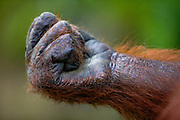 A close-up of an orangutan hand (Pongo pygmaeus) closed in a fist, Borneo, Indonesia