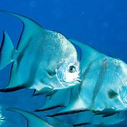 Caribbean Spadefish