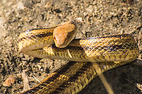 "One of my favorite snakes to be found in the wilderness of the American Southeast is the Florida yellow rat snake. This very long, mustard-yellow colored subspecies of the western rat snake is not very common, like most gray or near-black rat snakes found in the wild, but it is one of the coolest. I have an affinity for this type of snake and once had one as a pet in captivity for years until I decided to let it go free and ""go forth and propagate"". These non-venomous constrictors primarily feed on rats and birds, although their habit of sneaking into barns and eating eggs has also earned them the nickname of ""chicken snake"". This one was found by surprise on accident (as most snakes are usually encountered) as I was walking through the edge of the woods in the Ocala National Forest  in Juniper Springs when the tree limb I grabbed suddenly moved in my hand and tried to bite me. I pulled this beauty out into the open for this shot and let it go. It was just about four feet in length and was fat and healthy!"