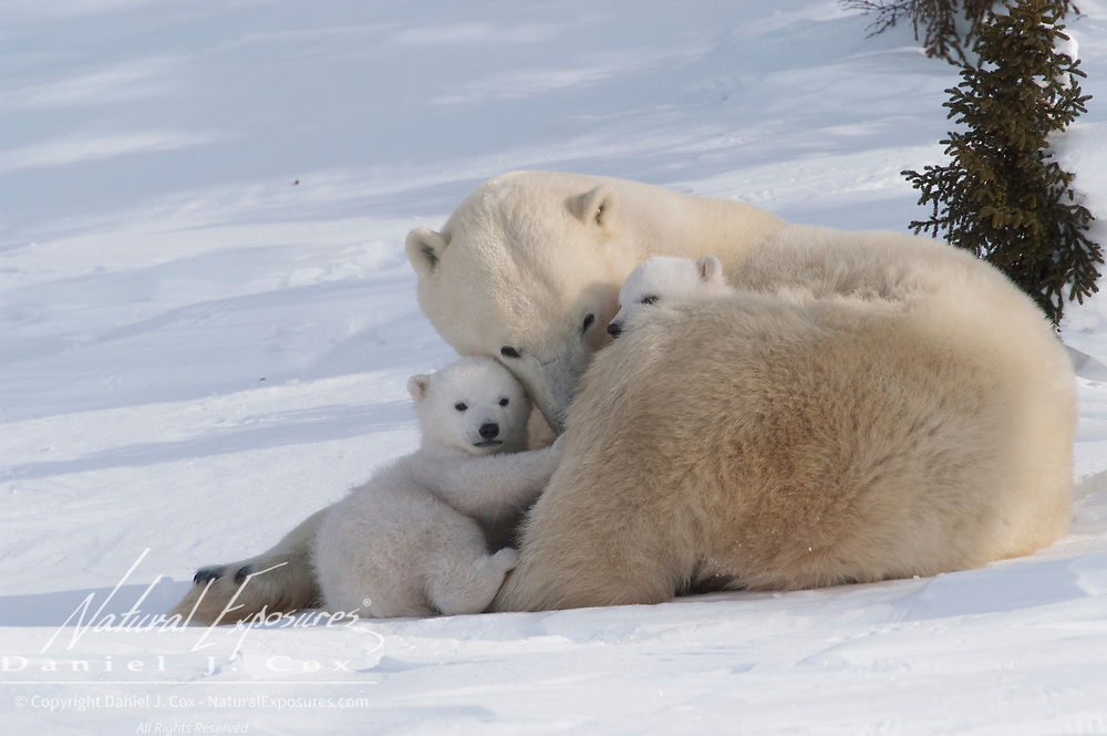 A mother and cub polar bear  travelling towards Hudson Bay pass through a spruce forest in Wapusk National Park.  It's early March and the temperatures are -46F; this is the time mother and cubs merge from the den. Manitoba, Canada
