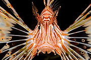 Israel, Eilat, Red Sea, – Underwater photograph of a radial Lionfish Pterois radiata close up of the head and face