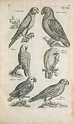 Parrots 17th-century artwork. This artwork is from 'Historiae naturalis de quadrupetibus' (1657) by Polish scholar and physician John Jonston (1603-1675).