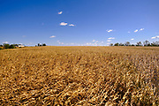 30 SEPTEMBER 2020 - WOODWARD, IOWA: Corn, including corn flattened by the derecho on Lambert family land in Woodward. Kevin Lambert said it would take nearly twice as long to combine this year's corn compared to last year's because of damage to fields caused by the derecho wind storm that roared through central Iowa in August. The derecho wind storm damaged more than 550,000 acres of Iowa cornfields. In addition to derecho damage, Iowa farmers are wrestling with drought related damage. A persistent drought in central Iowa has stunted corn plants and reduced yields. Because of the unusually dry weather, this year's harvest is three weeks ahead of last year's and nine days ahead of average.         PHOTO BY JACK KURTZ
