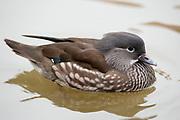 Mandarin duck, Aix galericulata, Female, Norfolk, UK, swimming on water