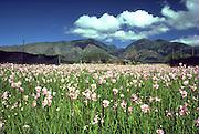 Orchids, West Maui, Maui, Hawaii, USA<br />